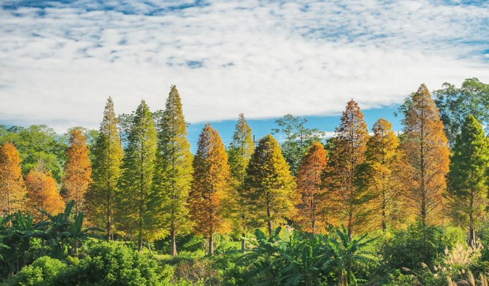 新竹地區的落羽松
