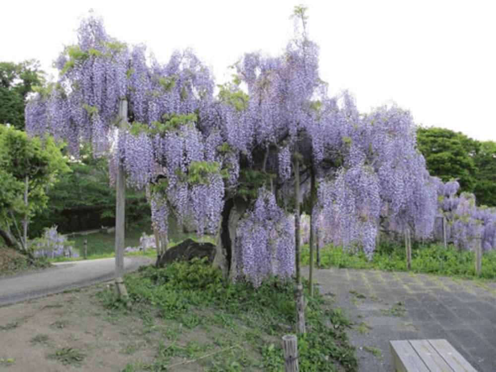 關東|橫須賀菖蒲園