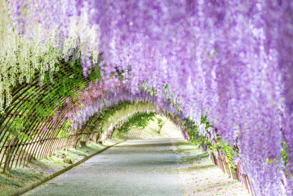 九州|河內藤園