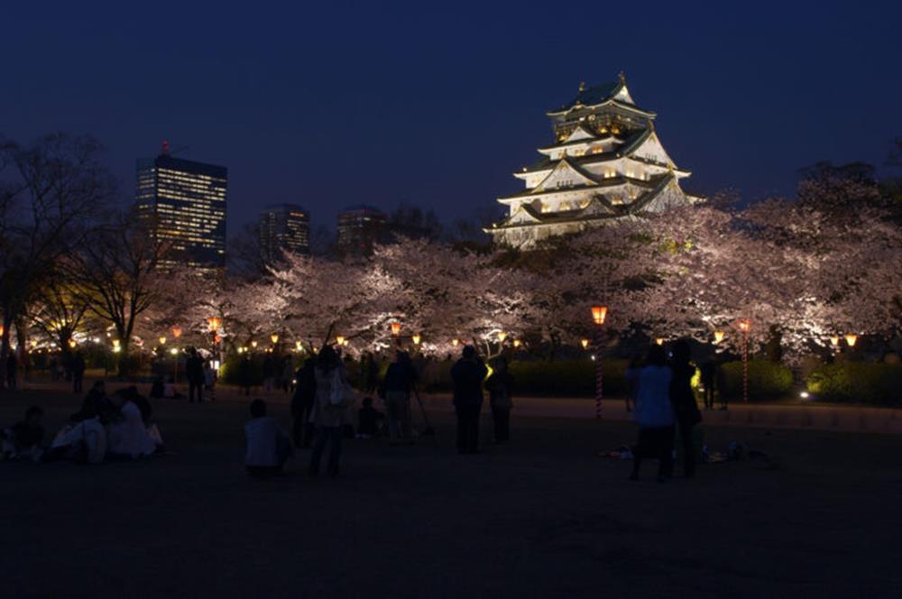 大阪城內西之丸庭園的夜櫻