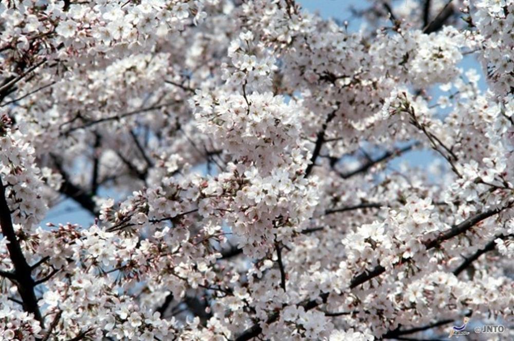 日本富士山櫻花