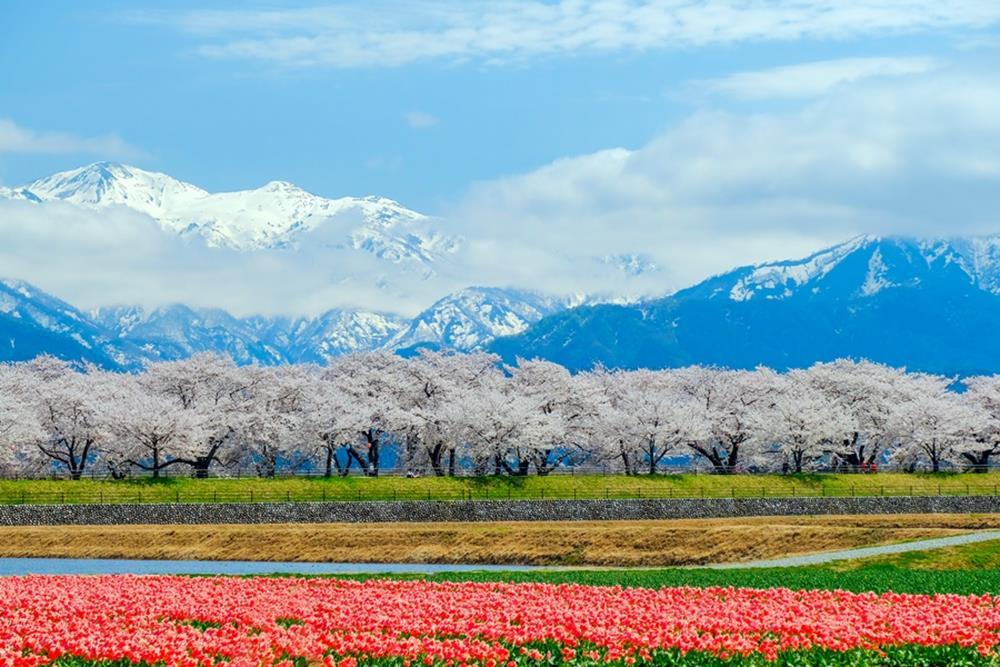 富山朝日春天