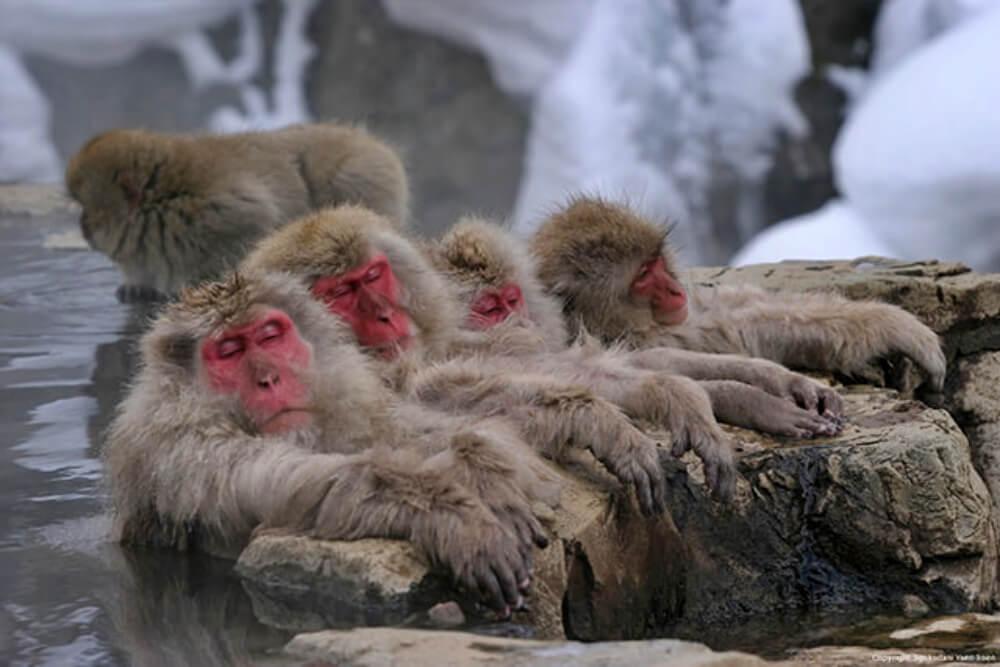 2020-春節旅遊-日本-長野-地獄谷-野猿公苑