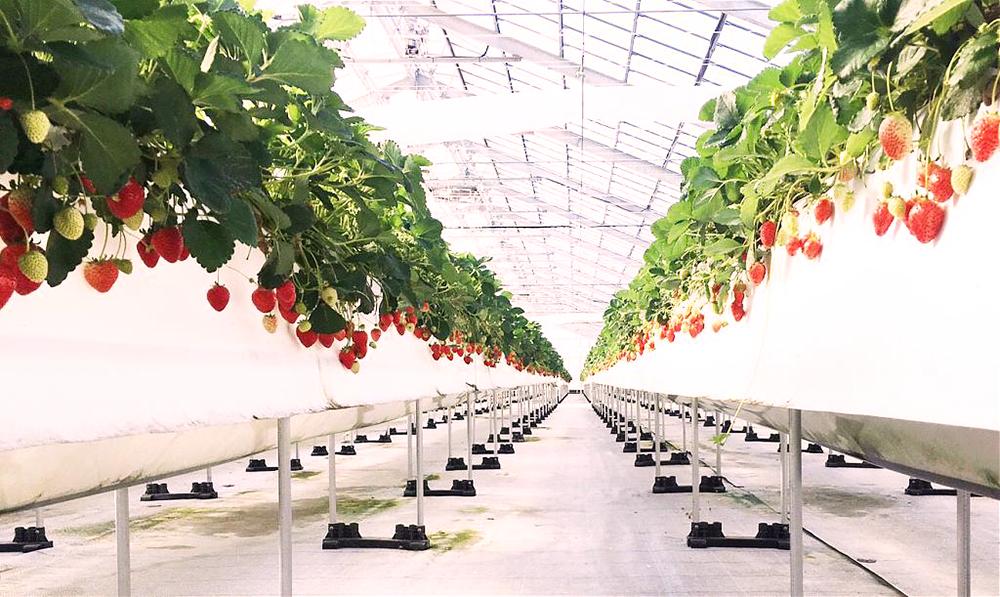 沖繩-冬天-採草莓
