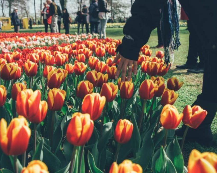 【荷蘭阿姆斯特丹花季】玩遍阿姆斯特丹&荷蘭庫肯霍夫公園鬱金香攻略