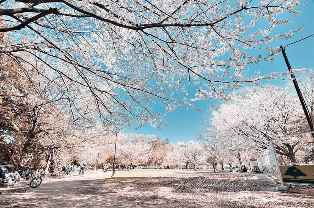 東京櫻花-井之頭公園