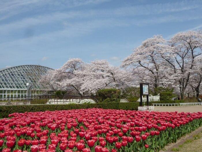 京都賞櫻景點-京都府立植物園