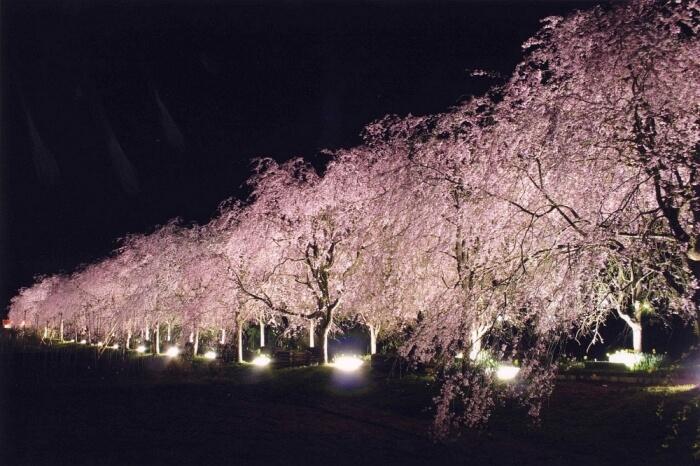 京都櫻花-京都府綠化中心