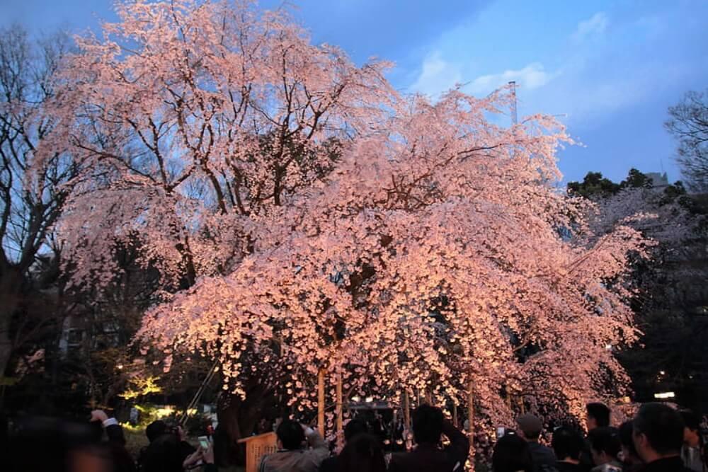 東京櫻花-六義園