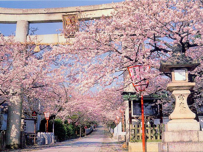京都櫻花-向日神社