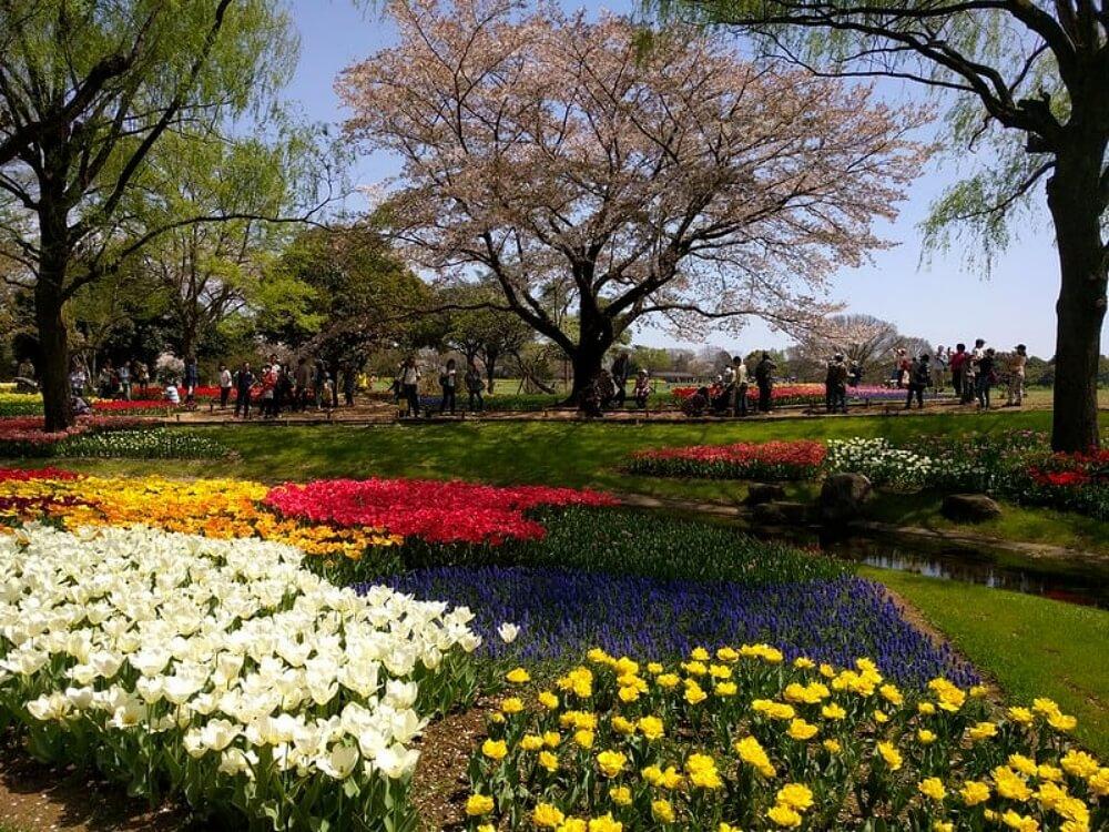 東京賞櫻-國營昭和紀念公園