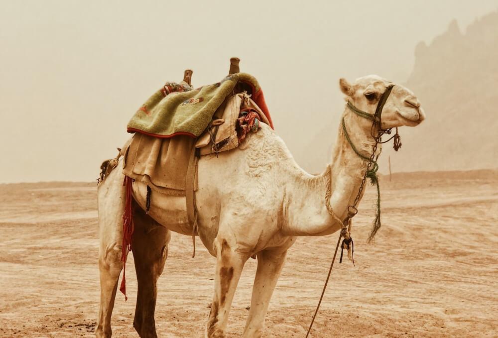 土耳其-駱駝