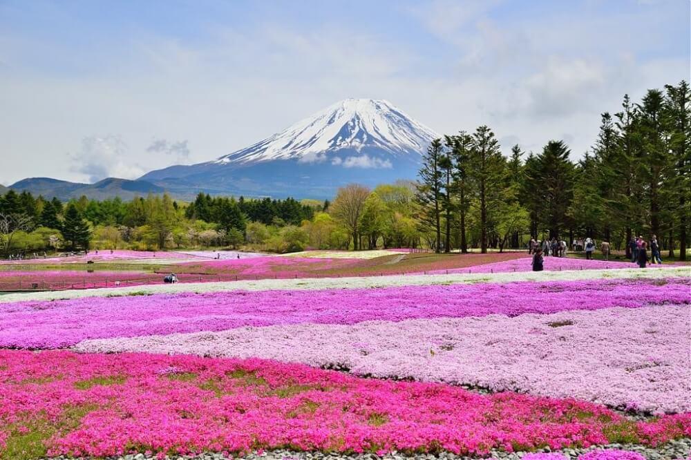 富士山-景點-五合目芝櫻祭