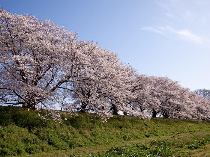 京都櫻花-澱川河川公園