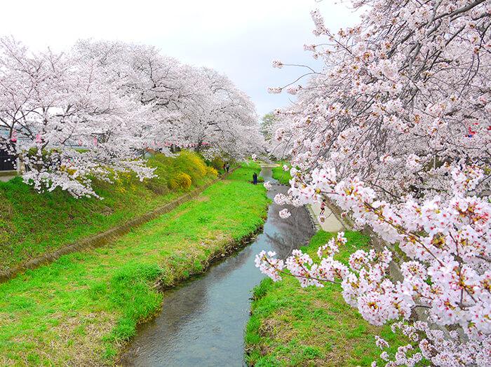 京都賞櫻景點-玉川河岸