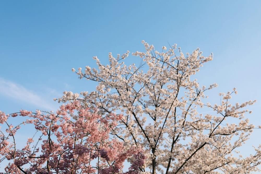 2020-東京櫻花