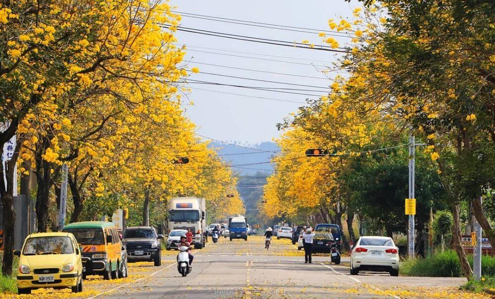風鈴木景點-嘉義八掌溪黃金大道