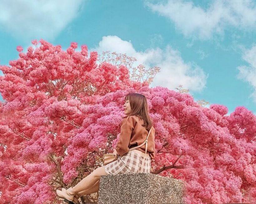 全台絕美風鈴木景點7選!黃金洋紅風鈴木讓你拍好拍滿