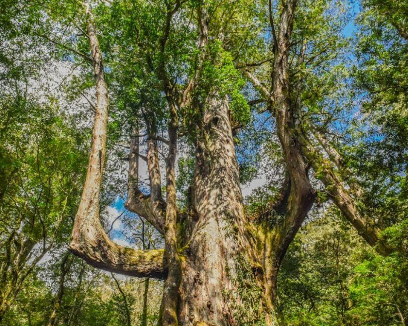 【新竹司馬庫斯】沐浴在檜木芳香中!司馬庫斯神木步道、景點推薦