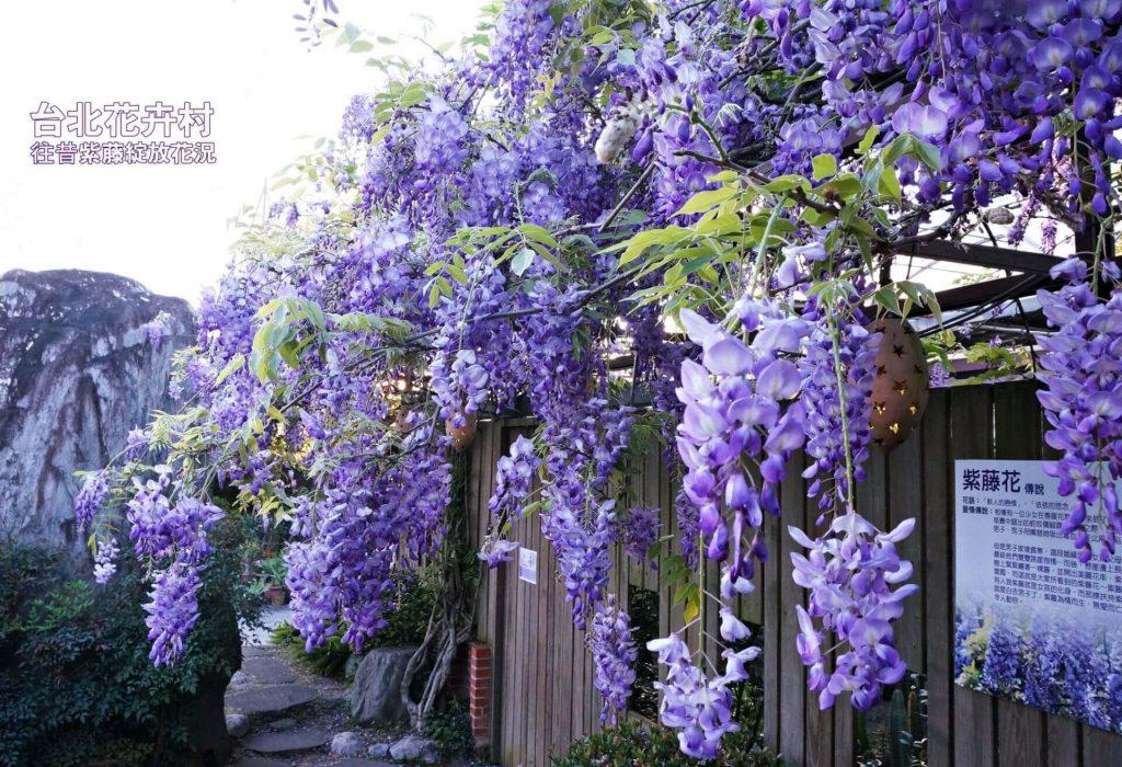 紫藤花景點-台北花卉村