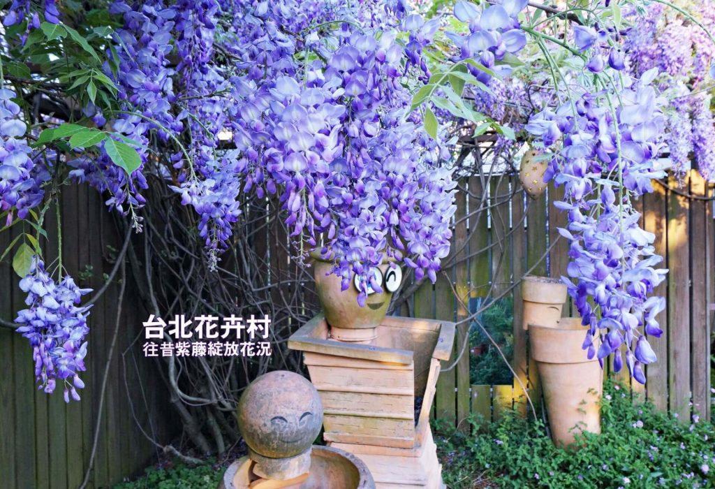 台北花卉村-紫藤花