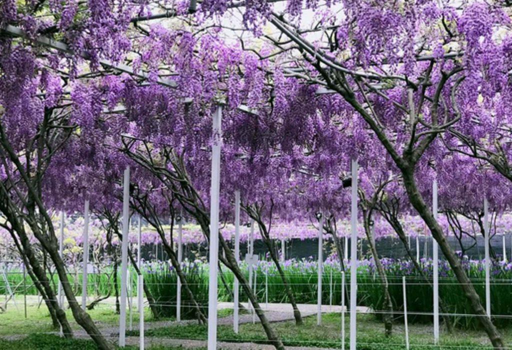 紫藤花景點-淡水紫藤咖啡園