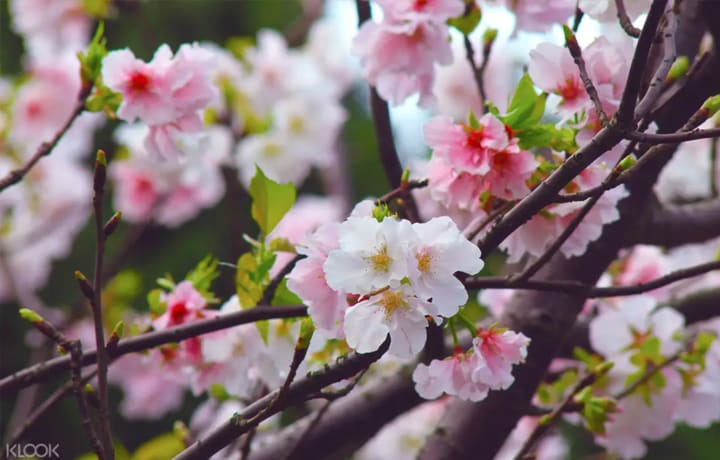 台北週末景點-陽明山花季